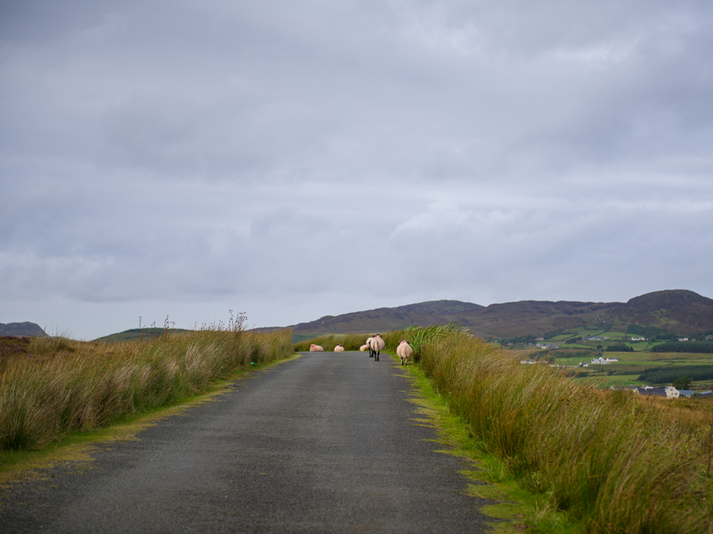 Sheep in Ireland - Alessandro Cancian Photography