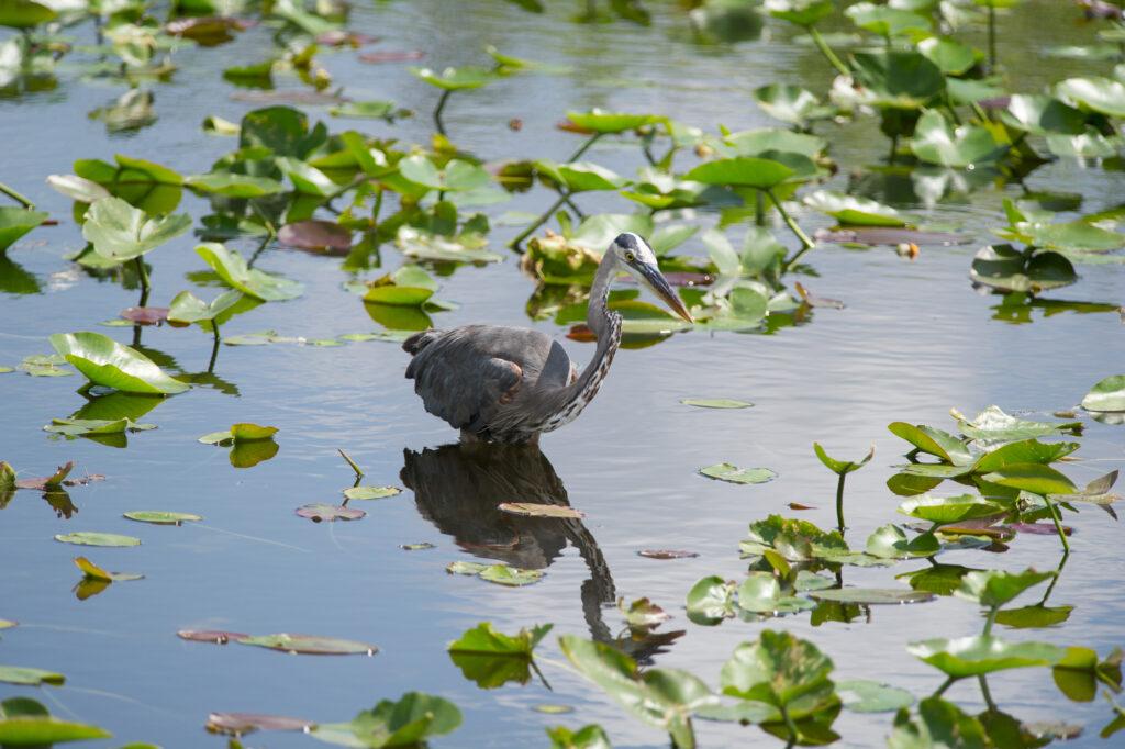 Great blue heron - Florida - Alessandro Cancian Photography