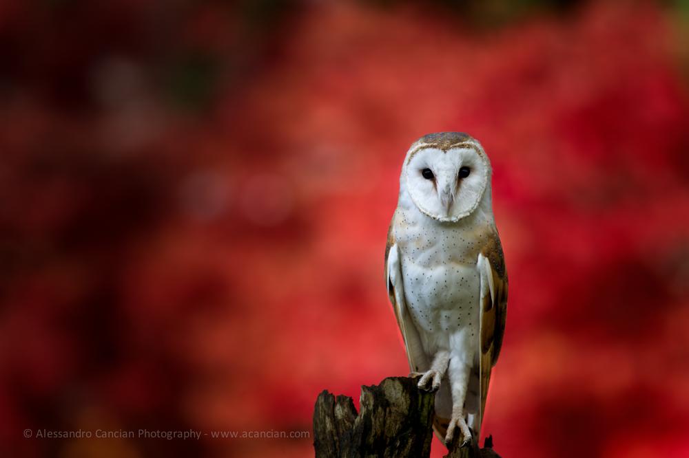 Barn Owl - Alessandro Cancian Photography