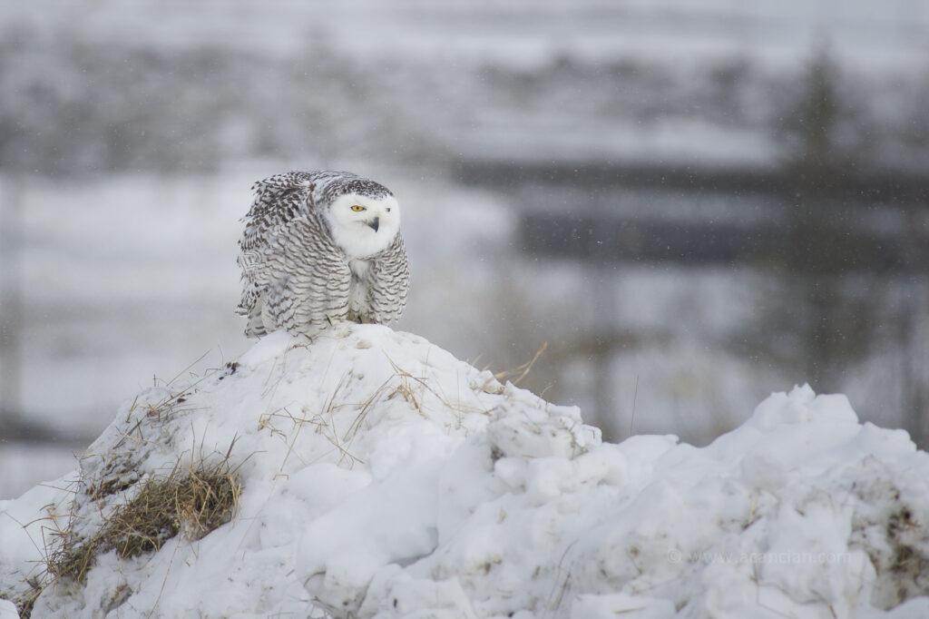 Snowy Owl - Alessandro Cancian Photography