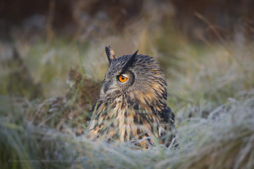 Long-Eared Owl - Alessandro Cancian Photography