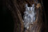 Eastern Screech Owl - Alessandro Cancian Photography